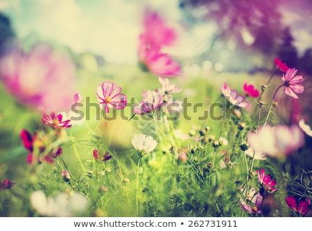 Wild pink spring flowers on green meadow Stock photo © pixachi
