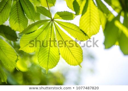 Yeşil kestane yaprak doğa bitki büyüme Stok fotoğraf © shutswis