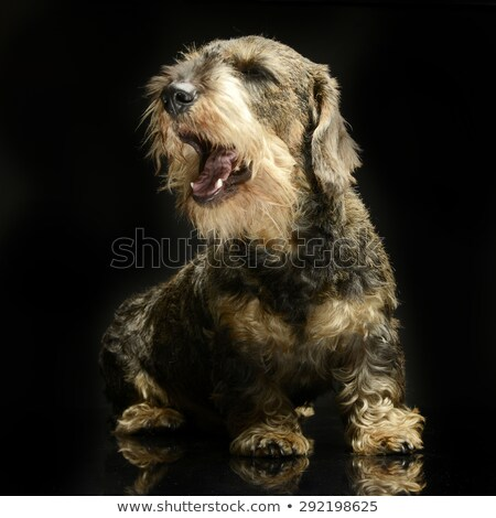 Stock photo: lovely wired hair dachshund singing in a black photo studio