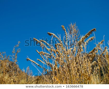 Giant Foxtail weed against a blue sky Stock photo © njnightsky