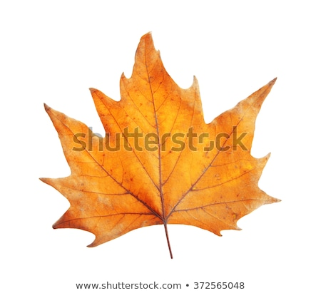 Dried autumn leave on white background Stock photo © wavebreak_media