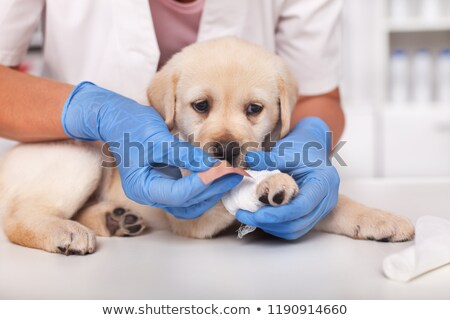 Cute labrador puppy dog getting a bandage on its paw Stock photo © ilona75