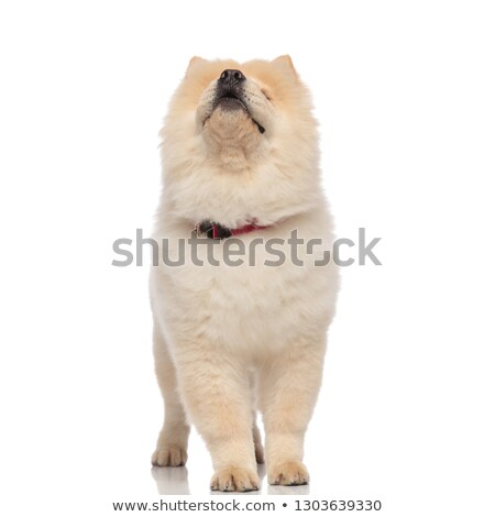 cute chow chow with red collar looks up while standing Stock photo © feedough