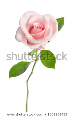 Pink rose with the green stem isolated on white background Stock photo © Melnyk