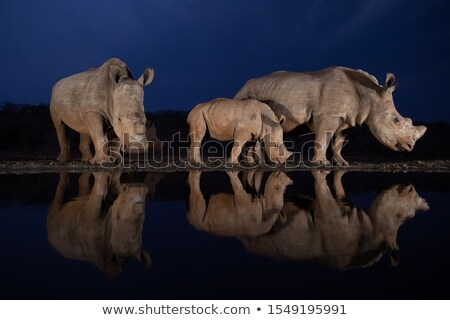 Deux potable lac rhino couple animaux Photo stock © KonArt