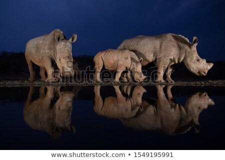 two rhinozeros drinking at lake stock photo © konart