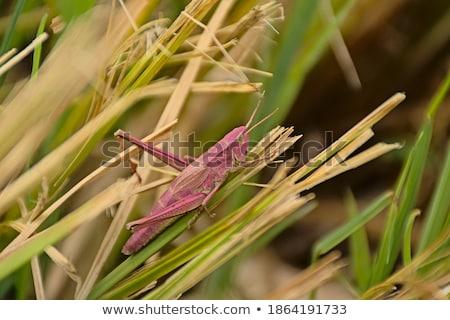 グラスホッパー · マクロ · 写真 · 緑 · 立って · スティック - ストックフォト © asturianu