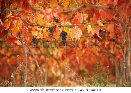 Foliage of autumn  vineyard Stock photo © inaquim