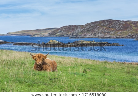 brown highland cattle with blue sky in background stock photo © gewoldi