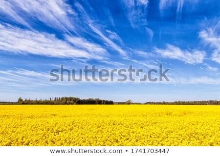 Rape crop growing under a cloudy sky. Stock photo © latent