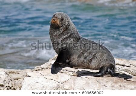 Wet fur seals Stock photo © Hofmeester