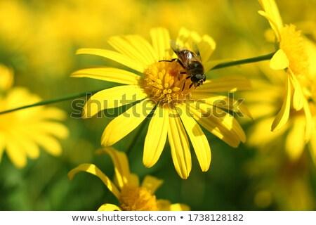 Blanco crisantemo abeja flor primavera verano Foto stock © vtorous