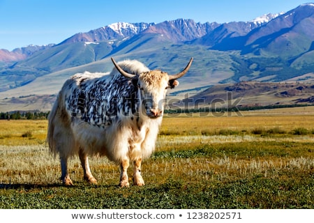 White yak on the grassland Stock photo © bbbar