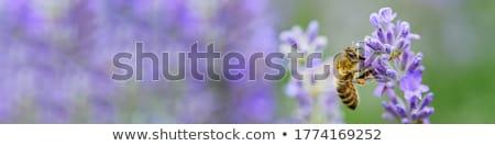 Abeille bleu fleurs prairie Espagne Photo stock © tboyajiev
