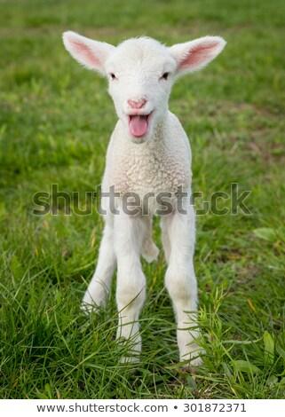 ребенка ягненка овец Постоянный травой поле Сток-фото © lunamarina