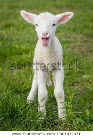 bebê · cordeiro · ovelha · pequeno · caneta - foto stock © lunamarina