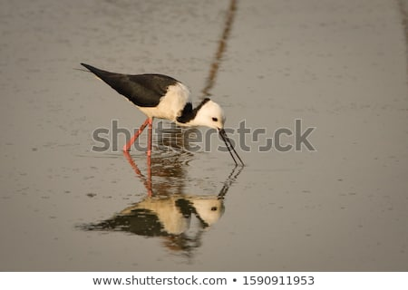 Pied Stilt Stock photo © rghenry