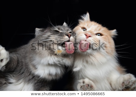 standing tabby tongue out stock photo © dnsphotography