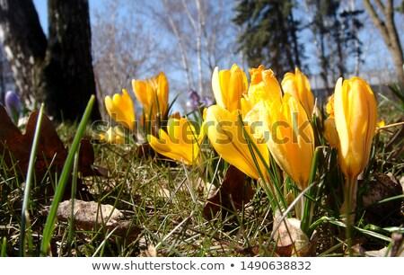 Crocus giardino fiorito primavera sentimento viola Pasqua Foto d'archivio © Anterovium