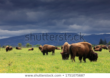 buffalo grazing stock photo © jfjacobsz