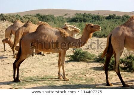 teve · farm · tevék · háziasított · nyáj · arab - stock fotó © zhukow