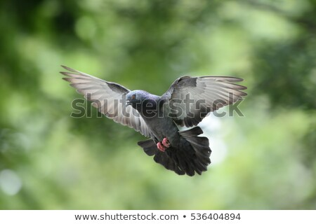 Paloma vuelo Blur pasado Foto stock © suemack
