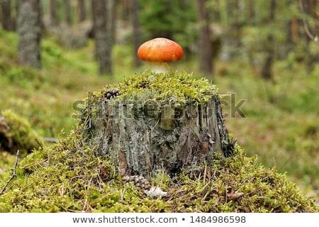 Mushroom on Tree Stump Stock photo © zhekos