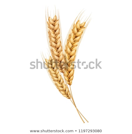 ストックフォト: 小麦 · 耳 · 孤立した · 白 · eps · 10