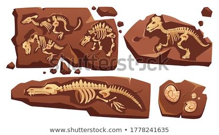 Kövület kihalt állat föld Föld koponya Stock fotó © bluering
