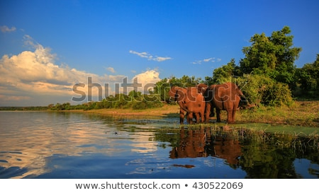 An Elephant drinking in the Kruger National Park. stock photo © simoneeman