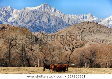 Nevada montanhas vacas pinho Califórnia Foto stock © yhelfman