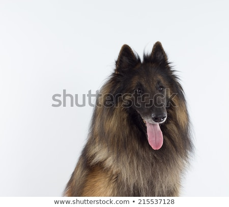 Studio shot of an adorable Belgian shepherd stock photo © vauvau
