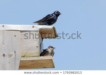 Purple Martin pair in birdhouse Stock photo © pictureguy