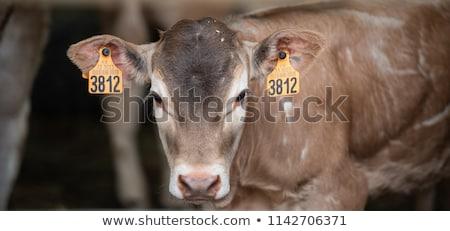 Portrait of Bazadaise cow and calf on a farm Stock photo © FreeProd