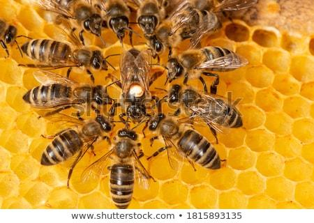 Méhek méhsejt közelkép étel keret dolgozik Stock fotó © boggy