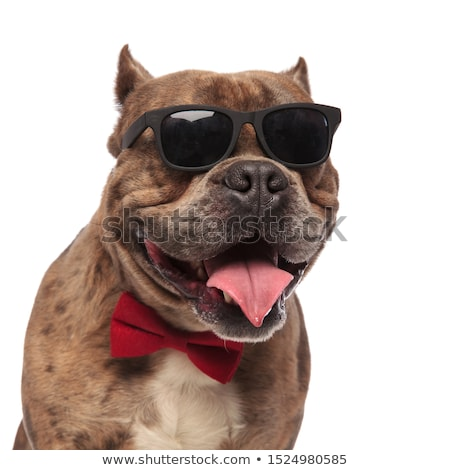close up of American bully looking up with tongue exposed Stock photo © feedough