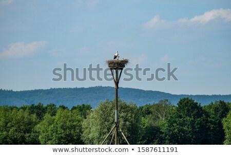 Blanche cigogne jeunes oiseaux manger Photo stock © taviphoto