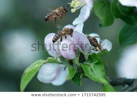 шмель нектар розовый Blossom макроса Сток-фото © manfredxy