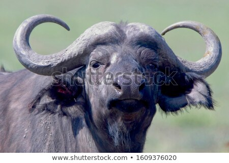 Close-up buffalo Stock photo © joyr
