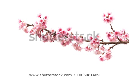 桜 春 空 花 ストックフォト © dsmsoft