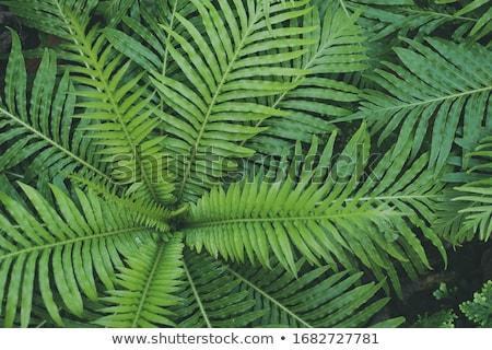 Yeşil eğreltiotu soyut örnek çok yaprakları Stok fotoğraf © 72soul