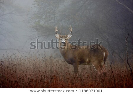 White tailed deer and fawn at Big Meadow Stock photo © backyardproductions