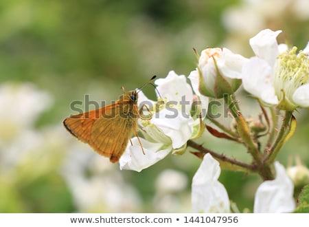 Pillangó makró lövés kicsi lila virágok Stock fotó © macropixel