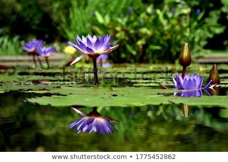 vijver · paars · water · lelie · bloem · bloeien - stockfoto © hinnamsaisuy
