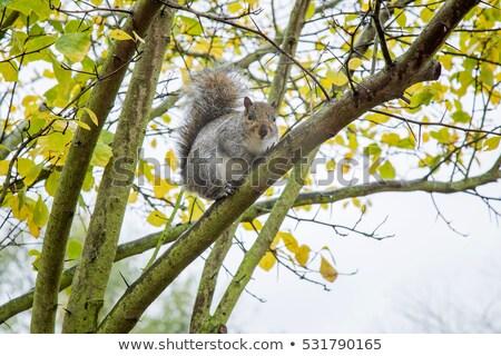 çizgili · sincap · Hint · ağaç · yaz · sevimli · havlama - stok fotoğraf © mikko