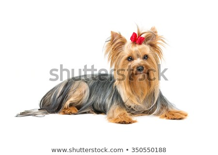 Glamour Yorkshire Terrier With Bow Stok fotoğraf © Svetography