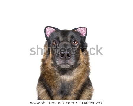 Сток-фото: собака · кошки · костюм · такса