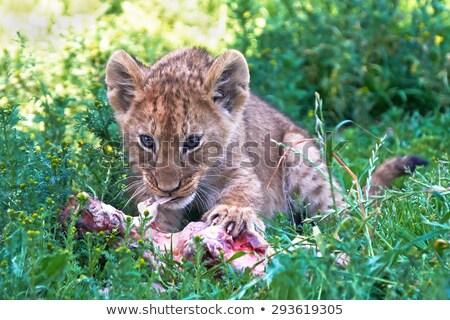 еды · мужчины · лев · добыча · животного · кошки - Сток-фото © backyardproductions