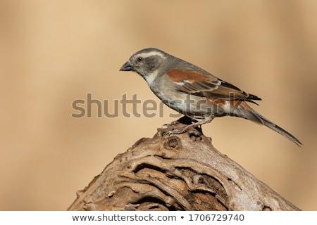 Cape sparrow (Passer melanurus) Stock photo © dirkr