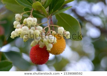 Arbutus unedo berries Stock photo © smithore
